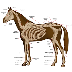 Horse Anatomy Diagrams : Equine Anatomy 7.0